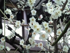 新宿十二社熊野神社の白梅