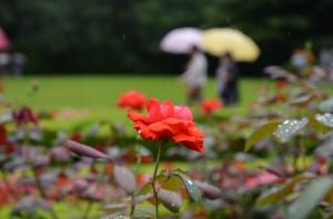 Rose_2013