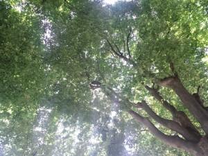西新宿超高層ビル街区の街路樹