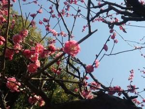 鳩森八幡神社の紅梅(東京都渋谷区千駄ヶ谷)