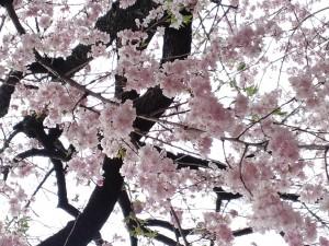 満開の枝垂(しだれ)桜