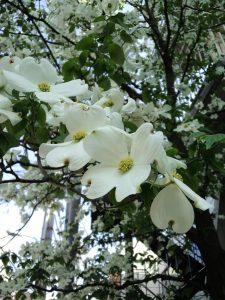 初夏の花「ハナミヅキ」