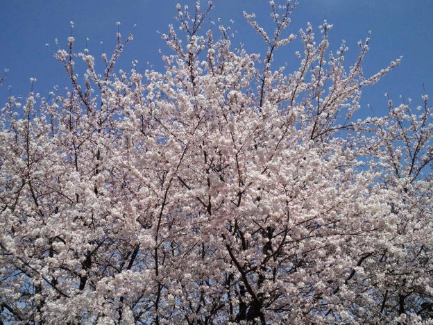 満開のソメイヨシノ 撮影:ヤマザキサトシ 撮影日:2015/3/31