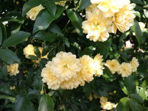 初夏の木香薔薇