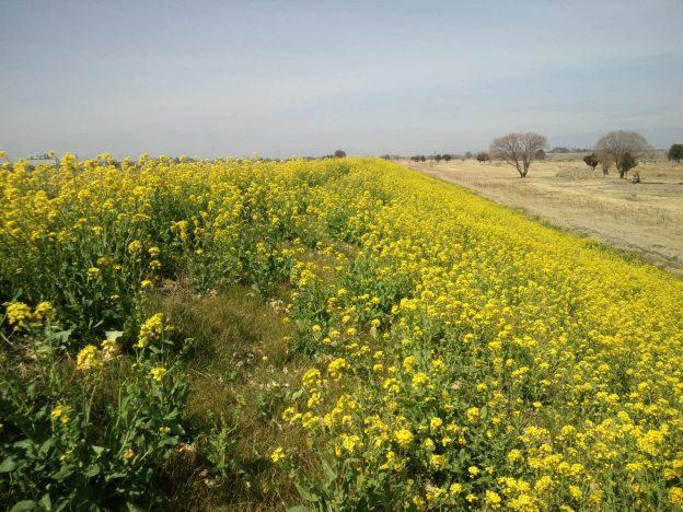利根川土手の菜の花、河口から163km地点 撮影:ヤマザキサトシ 撮影日:2021/3/16