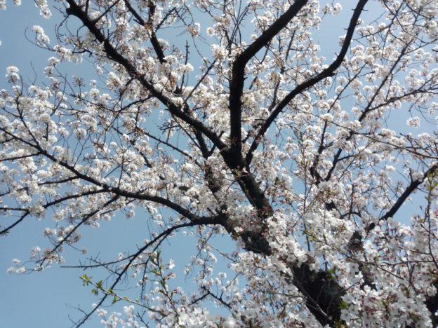 熊谷・妻沼緑道のソメイヨシノ 撮影:ヤマザキサトシ 撮影日:2021/3/31